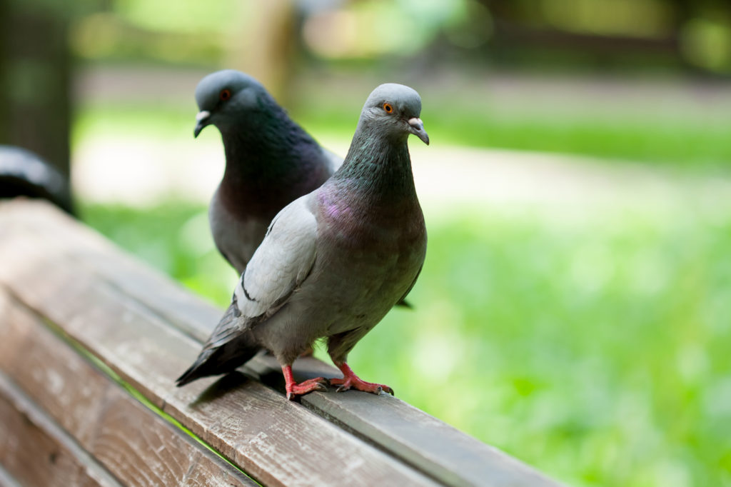 Two pigeons on a wooden bench